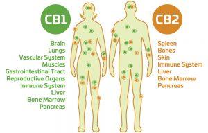 Endocannabinoid System Human Chart